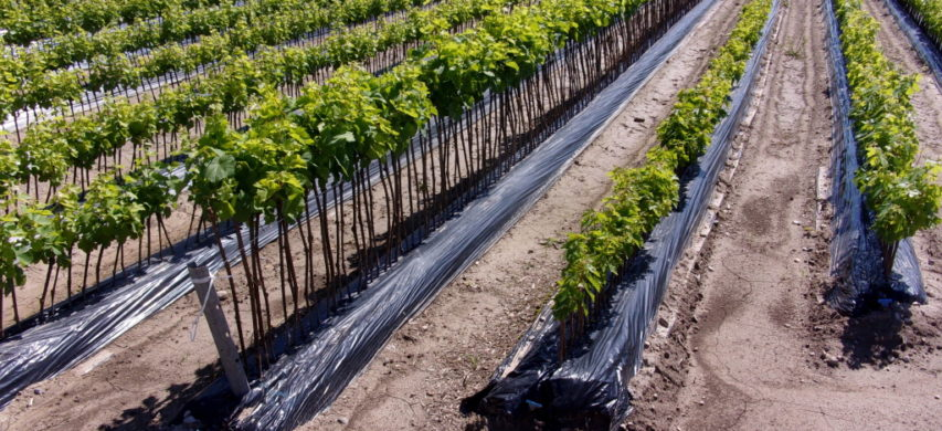 Vivaismo viticolo
