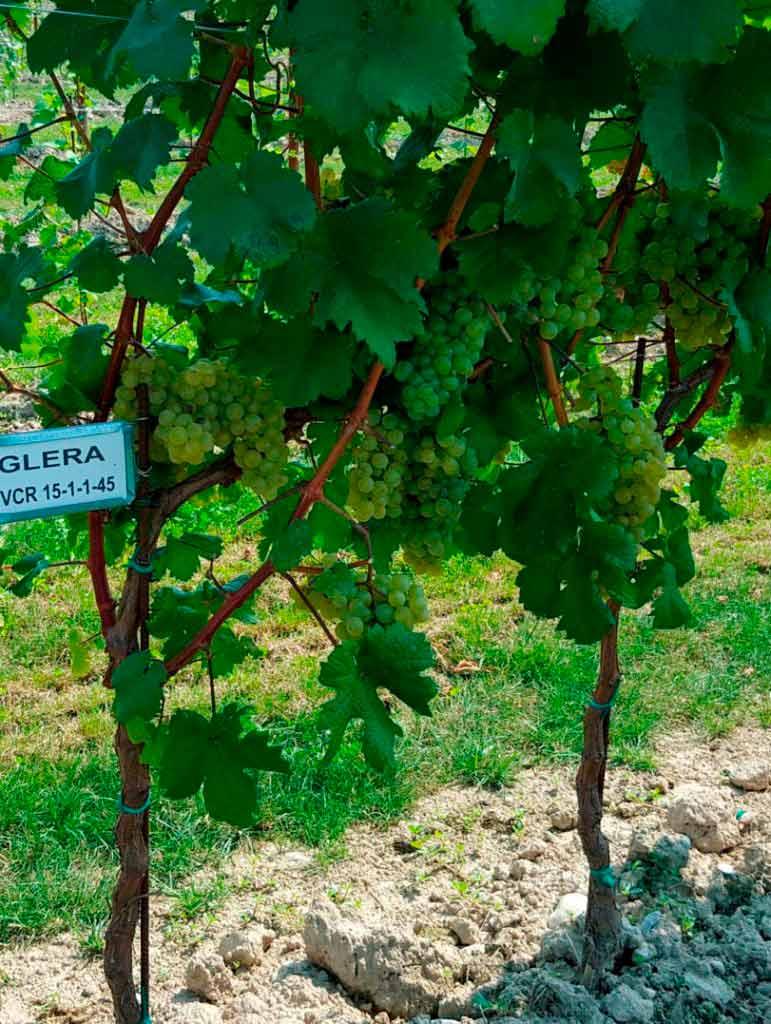 vigneto vitigno glera vcr