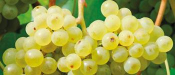 uva grappolo
