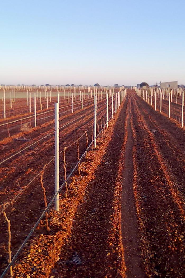 pianura filari piante uva viti vitigni vigneti