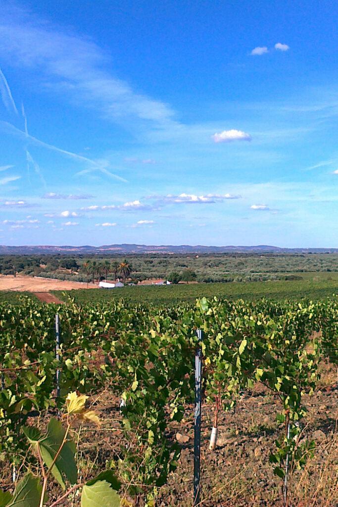 panorama viti colline pianura filari piante uva vitigno vigneto