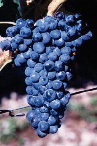 pianta grappolo uva nera scura vitigno vigneto
