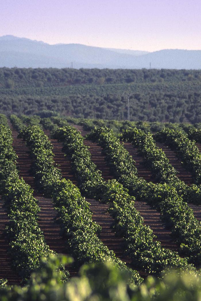 paesaggio filari viti piante uva vitigni vigneti colline verde cielo azzurro