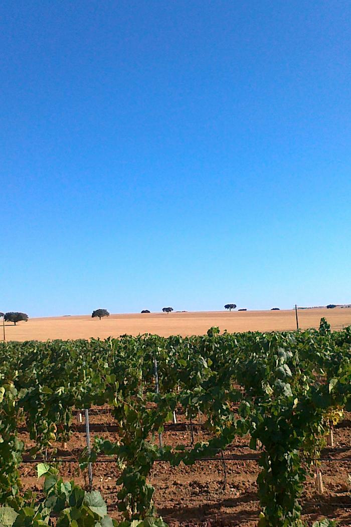 paesaggio vitigno vigneto uva verde giallo rigoglioso secco