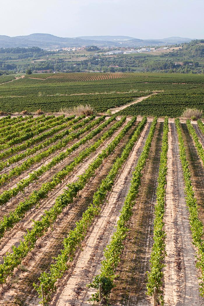 paesaggio verde viti vigneto vitigno piante uva pianura collina