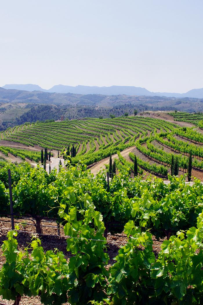 paesaggio collina colline vigneto vitigno viti piante vite uva verde montagne sfondo