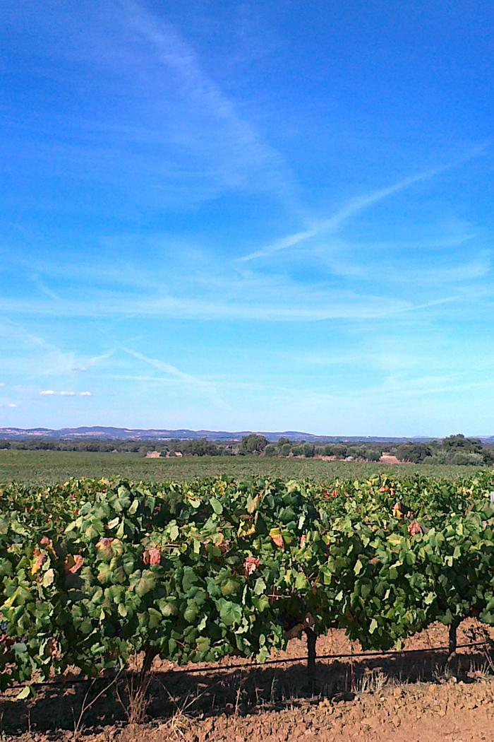 paesaggio pianura vitigno vigneto piante uva