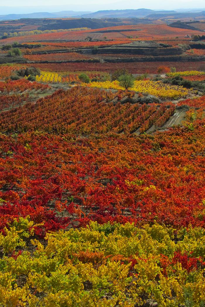 paesaggio rosso viti vite vitigno vigneto colline pianura