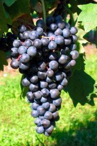 grappolo uva scura nerar nella vite vigneto vitigno