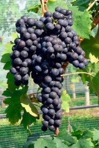 grappolo uva nera scusa nella vite pianta uva