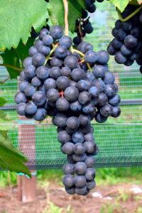 vite grappolo uva nera scusa pianta di vite