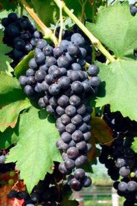 grappolo uva rosso nera scura nella vite vigneto