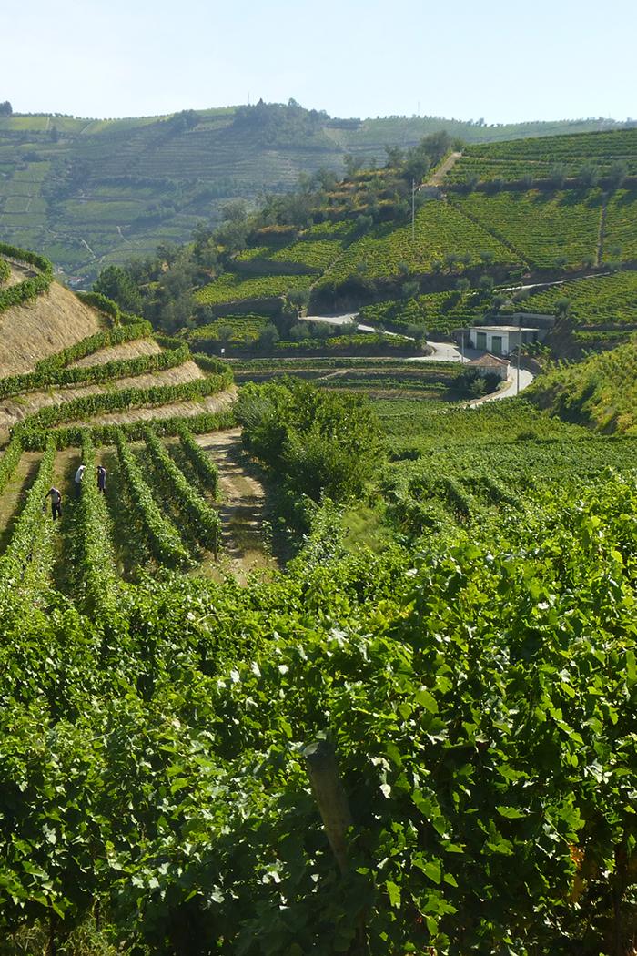 paesaggio vitigno vigneto pianta uva colline