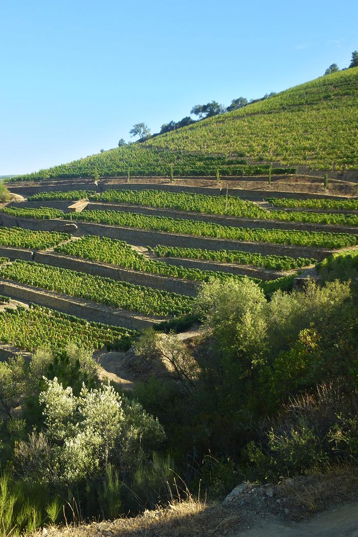 paesaggio viti vitigni vigneti colline piante di uva