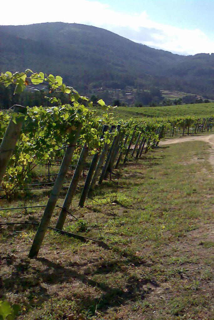 paesaggio verde filari viti vite pianta uva vitigno vigneto colline pianura