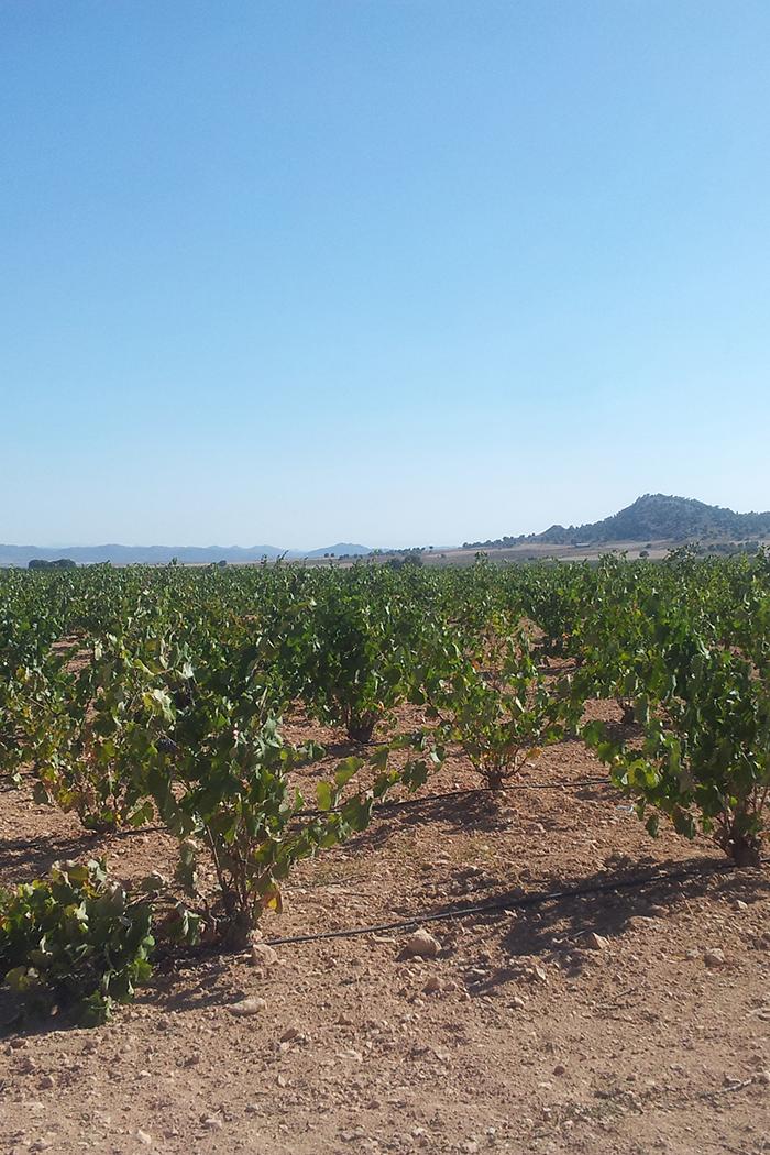 paesaggio piantagione pianta uva vite vigneto