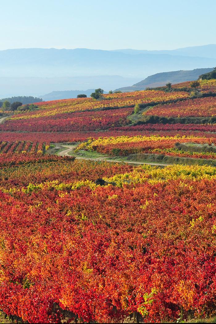 peasaggio vite viti vigneto vitigno colline rosso