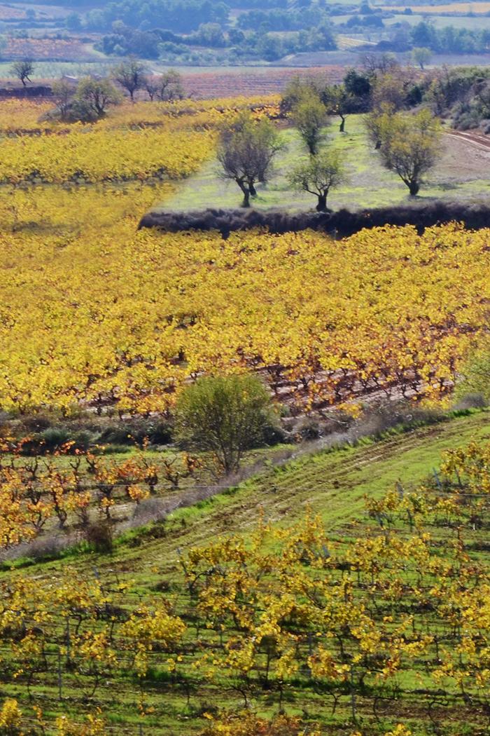 paesaggio vigneti coltivazione uva viti gialle piccole in pianura