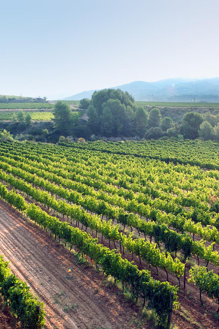 paesaggio viti vitigno vigneto piante uva bianca rosso nera